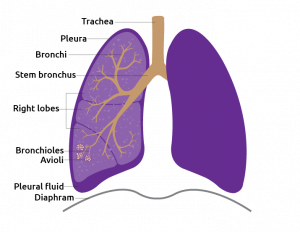 Detail of the lungs