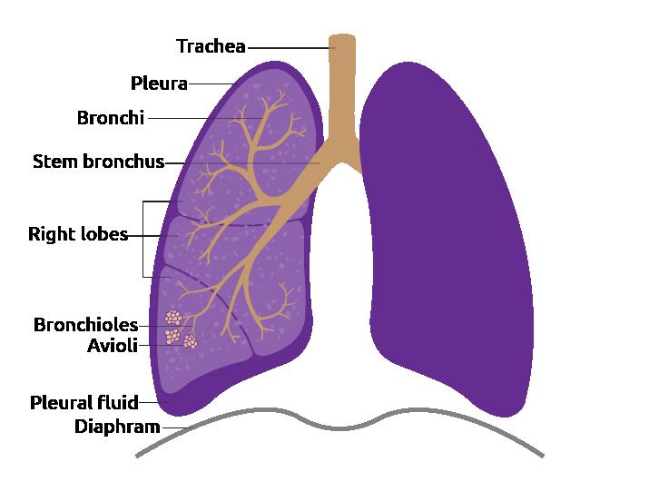 Human lung detail