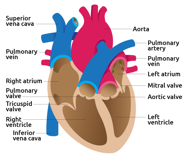 Detail image of human heart