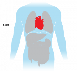 This is where the heart is situated in the torso