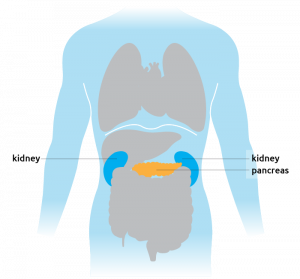 This is where the pancreas is situated in the torso