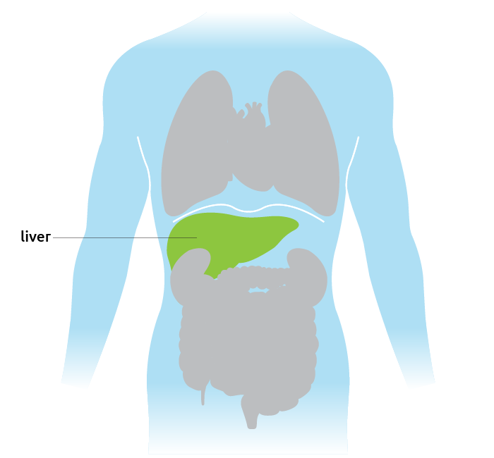 Human organ diagram showing liver location