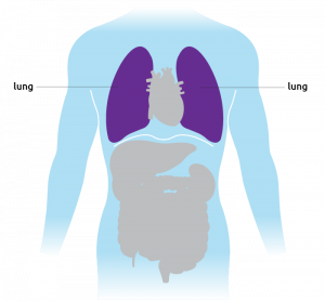 This is where the lungs are situated in the torso