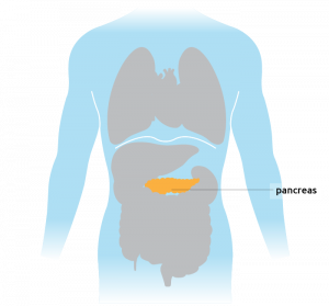 The pancreas situated in the torso